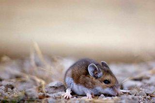 Deer Mouse_ John Good - NPS Photo