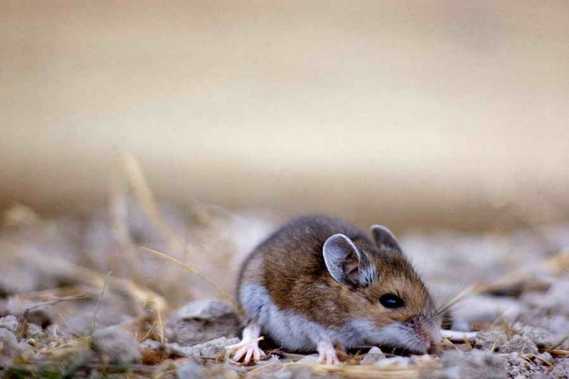 Deer Mouse_ John Good - NPS Photo